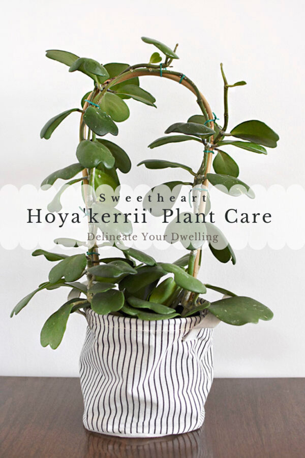 Hoya Sweetheart Plant care and tips