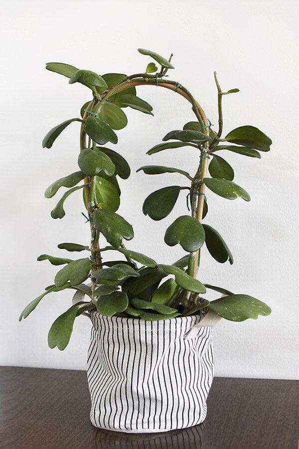 Sweetheart Hoya Kerrii plant