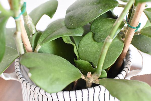 Hoya Kerrii plant