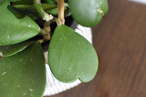 Hoya Sweetheart Leaf