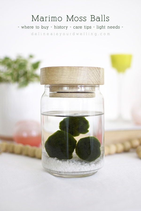 Marimo Moss Balls in jar