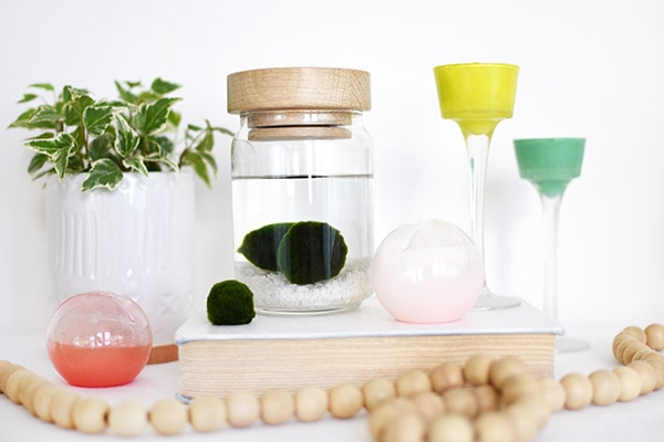 Learn the history of Marimo Moss Balls, Care Tips, Light Needs and more! Delineate Your Dwelling #marimo #marimomoss #marimomossballs