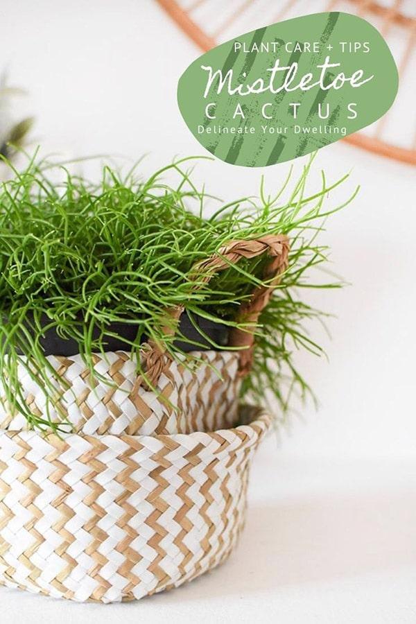 Mistletoe Cactus plant care