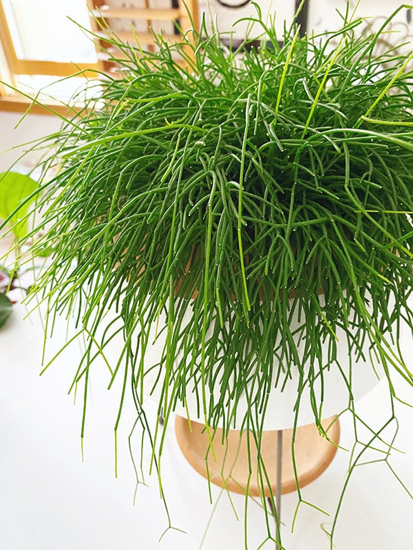 Mistletoe Cactus green leaf