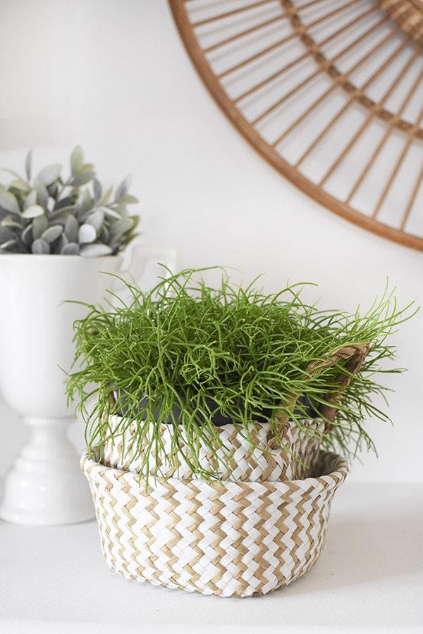 Mistletoe Cactus in pot