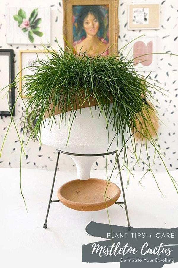 Mistletoe Cactus plant in planter