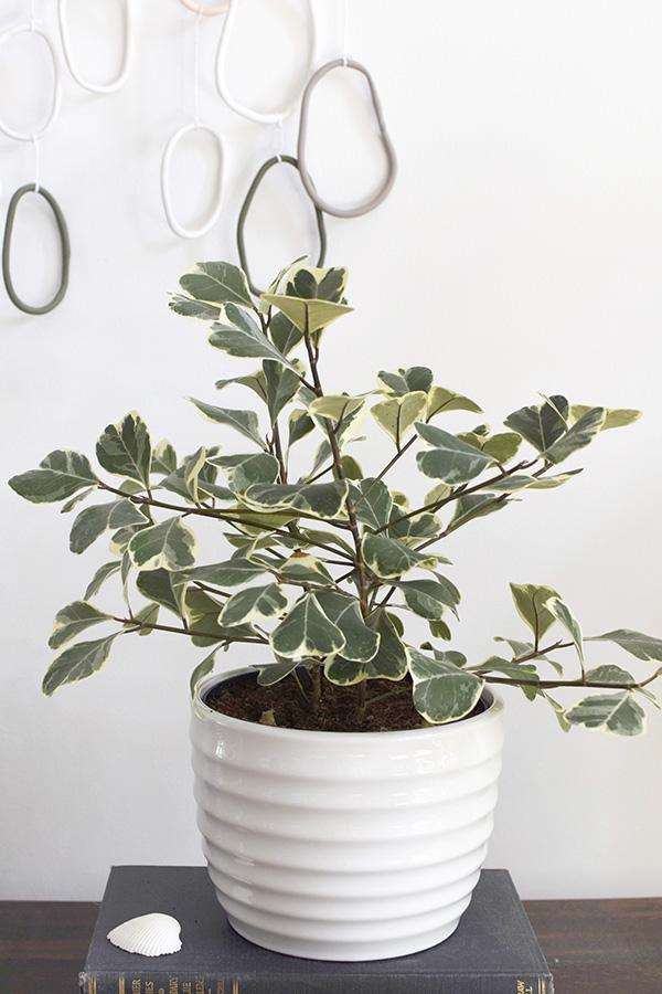 Ficus triangularis plant