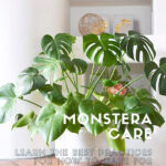 Monstera Care