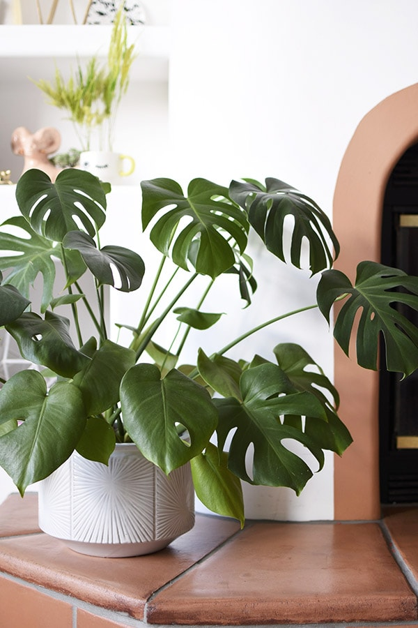 Monstera pot and plant