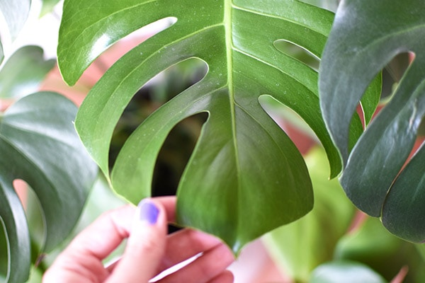 Monstera Leaf zoom