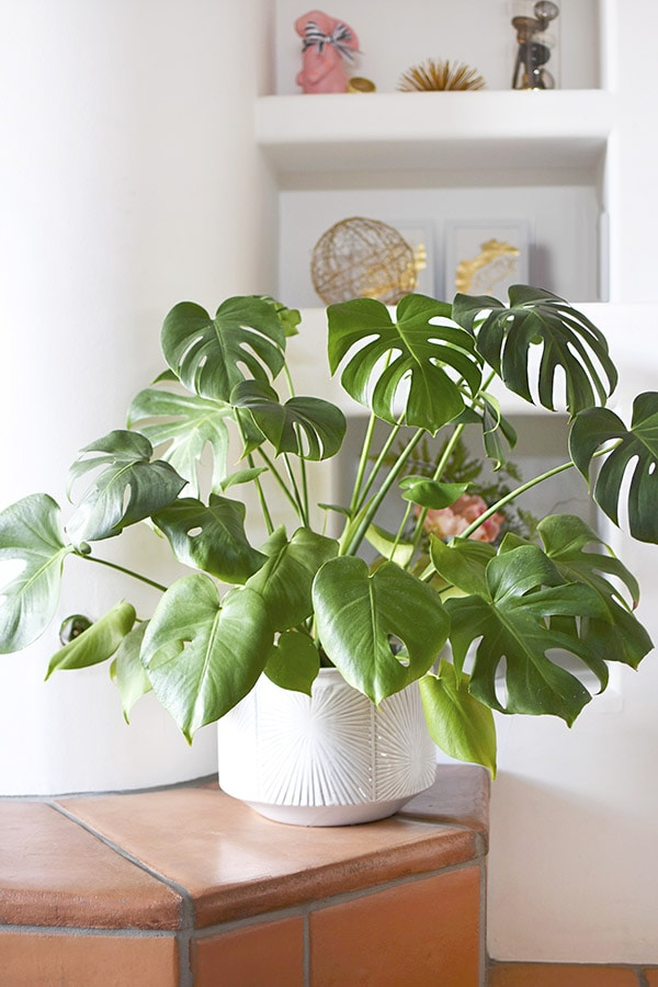 Monstera white pot