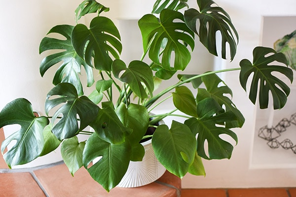 Many Monstera Leaves