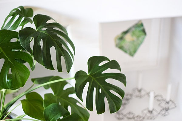 Monstera Plant Leaves