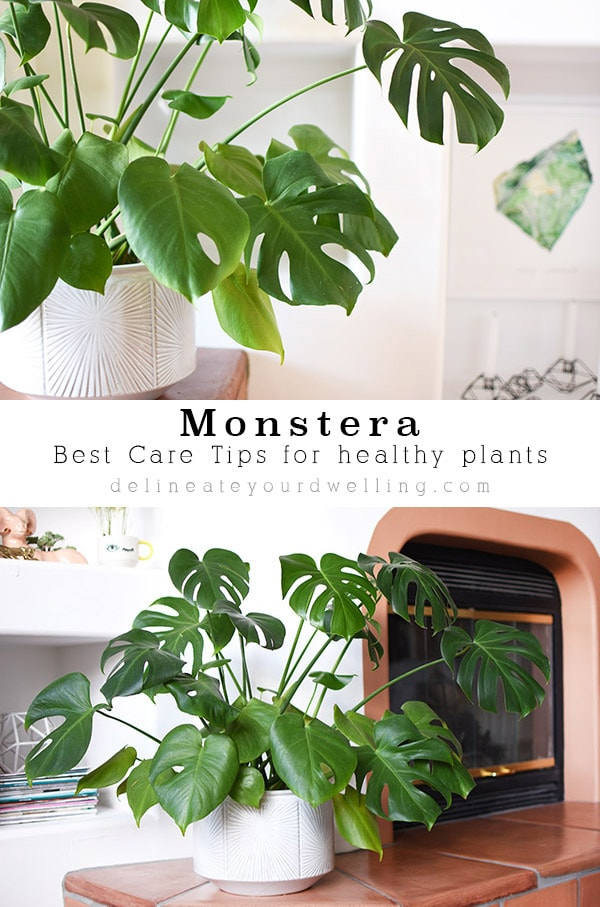 Best Monstera Care Tips