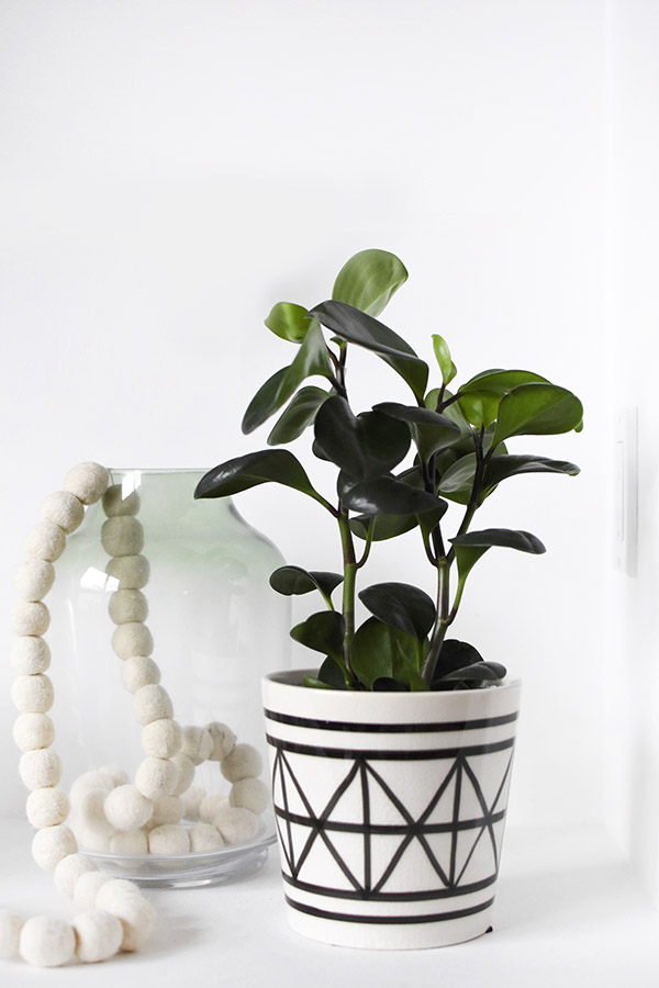 Low Light - Peperomia Plant