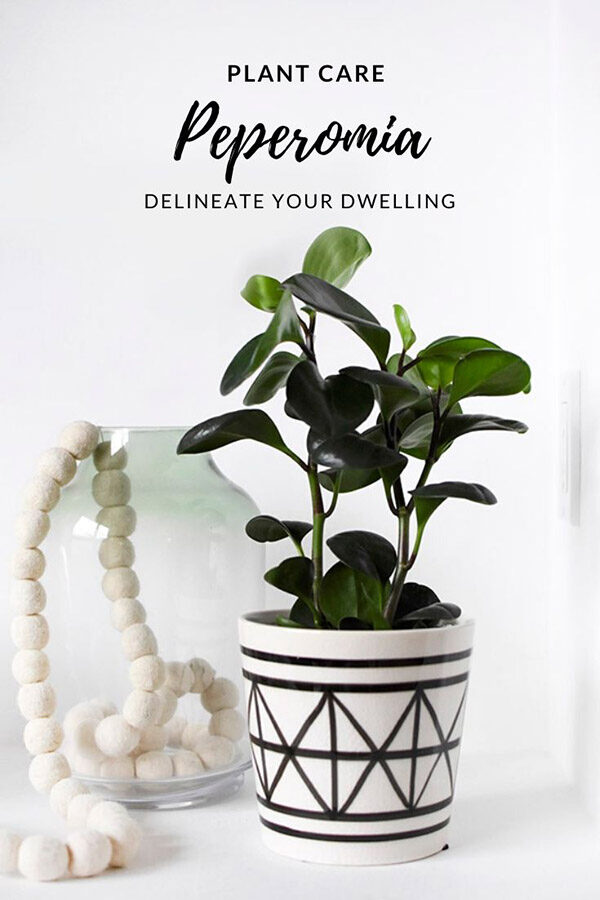 Peperomia Plant Care