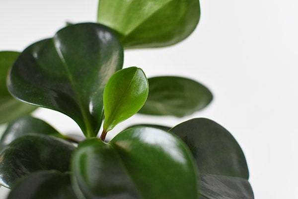 Peperomia Glossy Green leaves