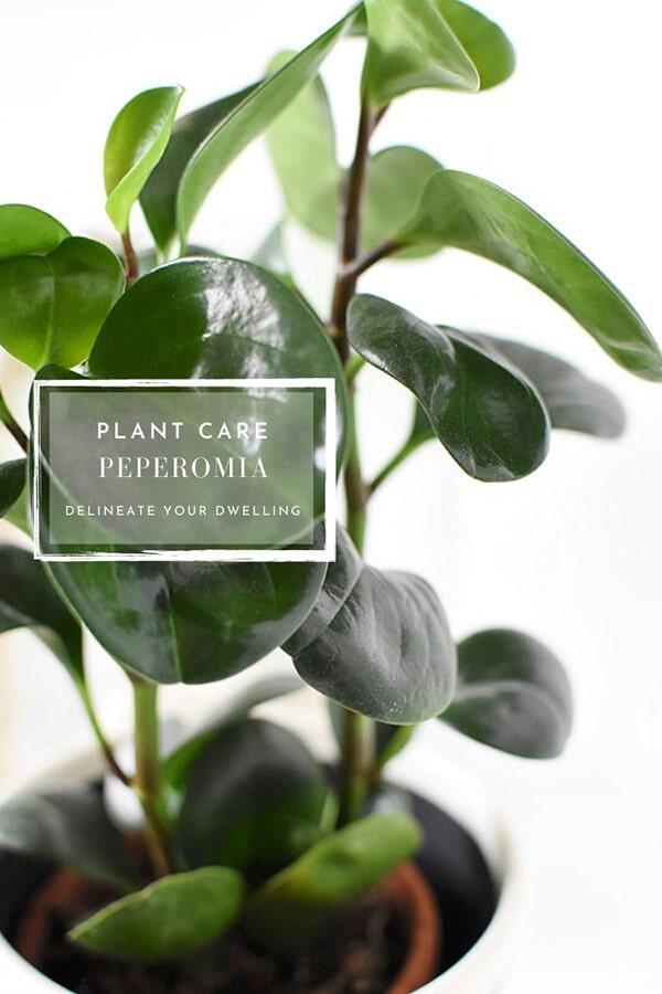Peperomia Care