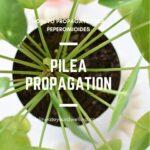 Pilea Propagation