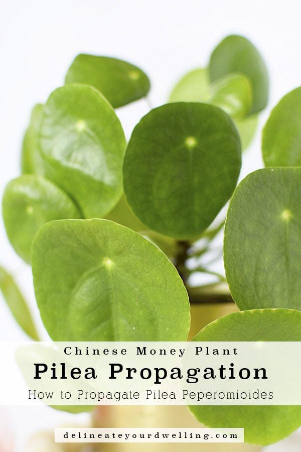 Pilea in plants
