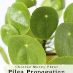 Pilea Propogation