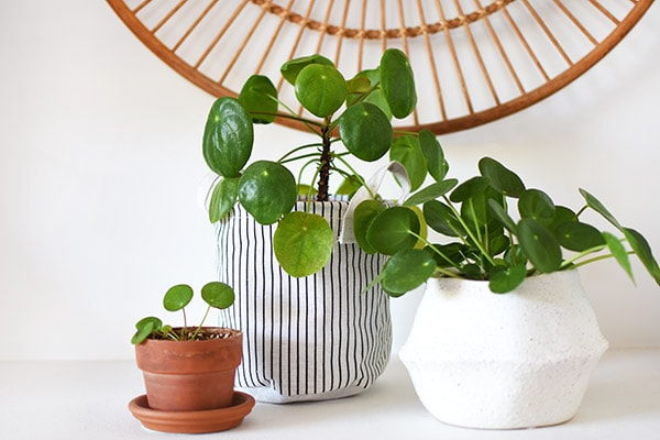 Three Pilea Plants and Pups