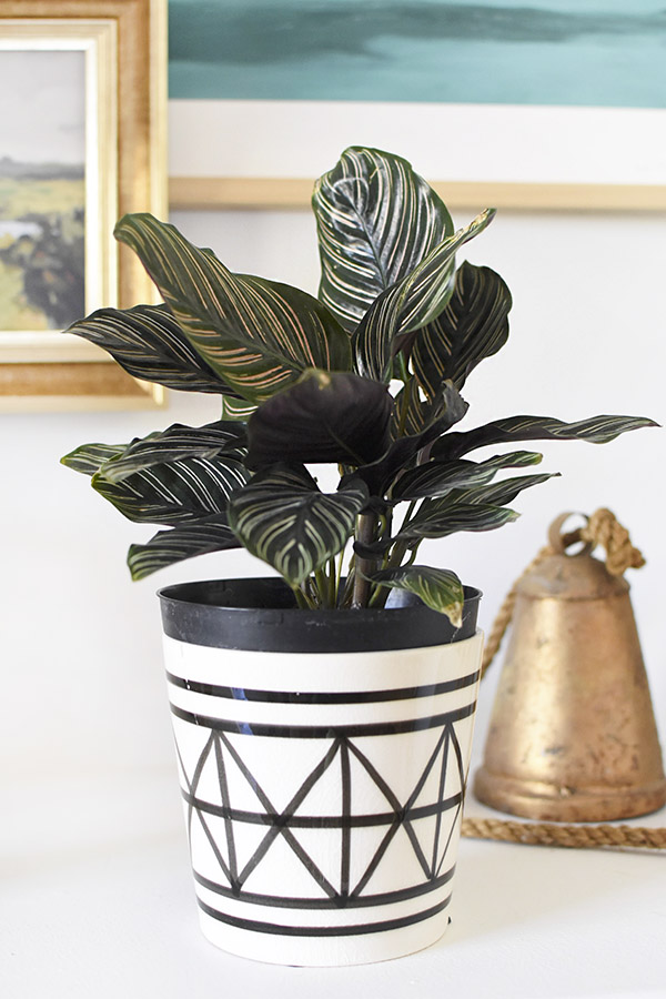 Low Light - Pinstripe Calathea