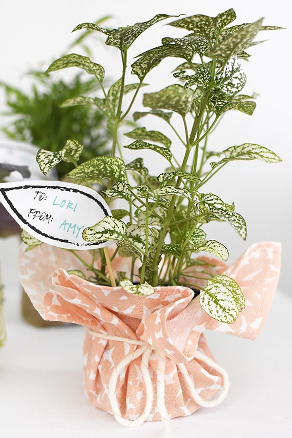 Plant Wrapped with Peach Fabric Gifts