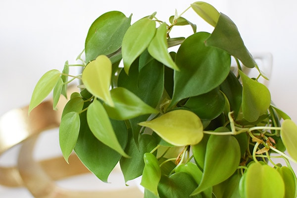 Neon Pothos Green Leaves