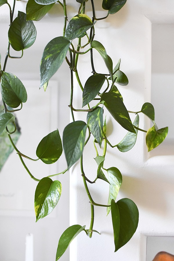Golden Pothos Trailing Leaves