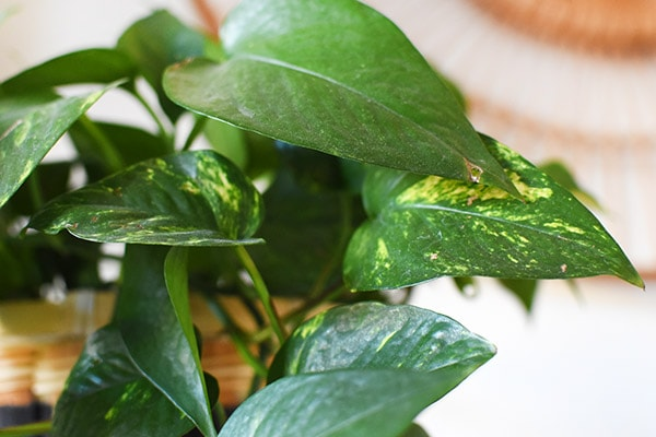 Golden Pothos Care