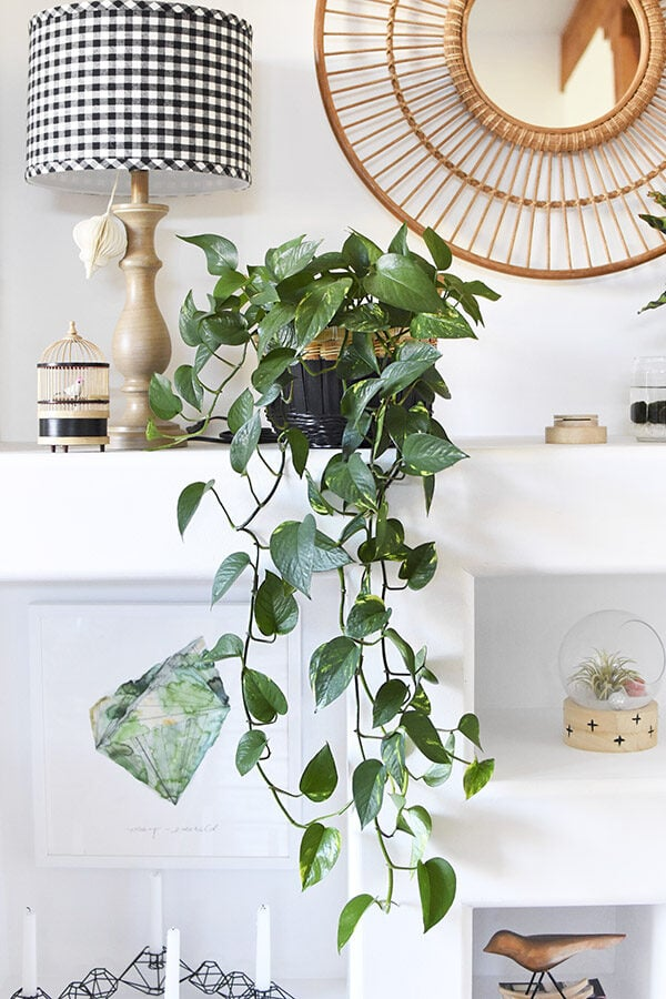 Golden Pothos Trailing Plant Care
