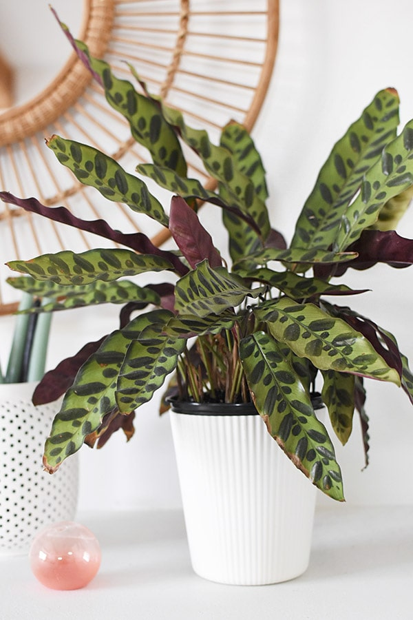 Prayer Plant in white pot