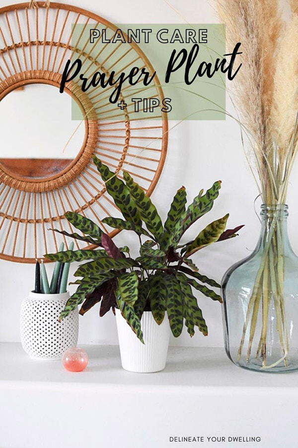Prayer Plant Care and Tips