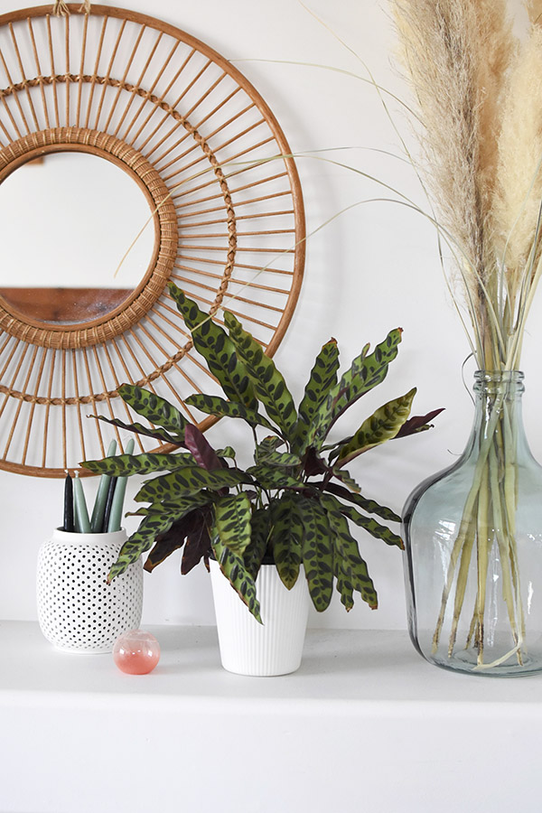 Low Light Plant - Prayer Plant
