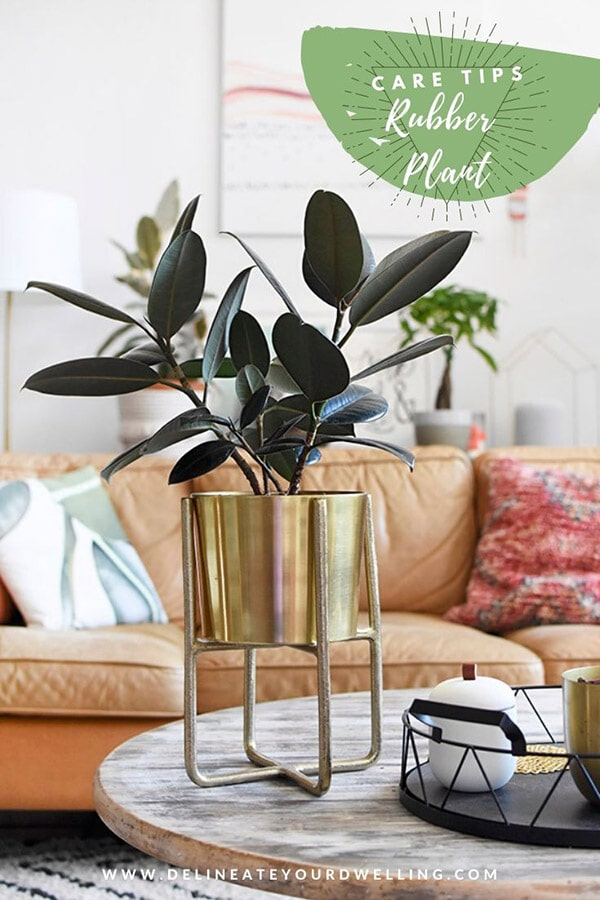 Rubber Plant potted