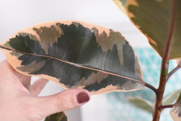 Pink Rubber Plant Leaf
