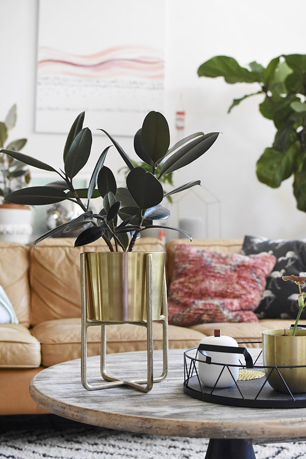 Rubber Plant Gold Pot