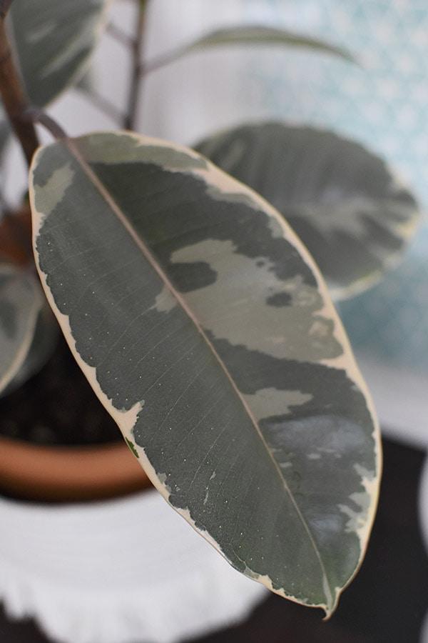 Rubber Plant Pink leaf