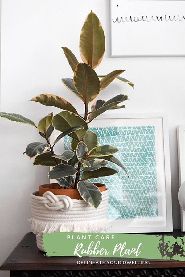 Rubber Plant Pink