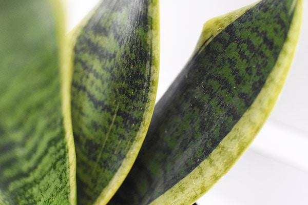 Snake Plant leaf