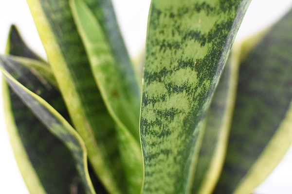 Close up of Snake Plant