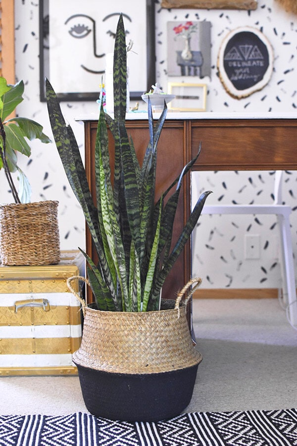 Snake plant in office
