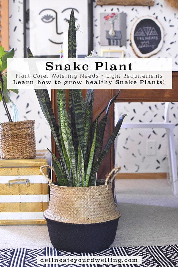 Snake Plant Care and tips