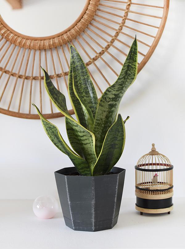 Low Light - Snake Plant