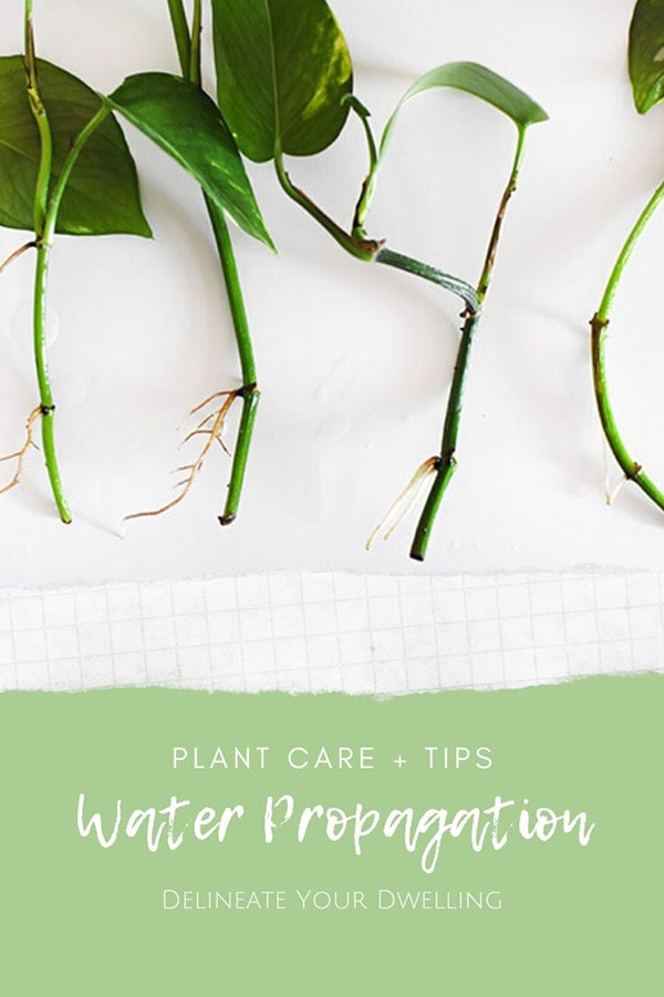 Water Propagation : Pothos Roots