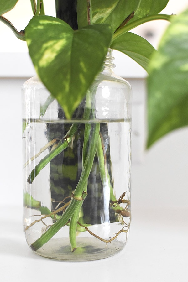 Water Propagation in a vase