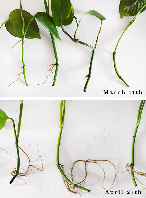 Water Propagation Pothos roots