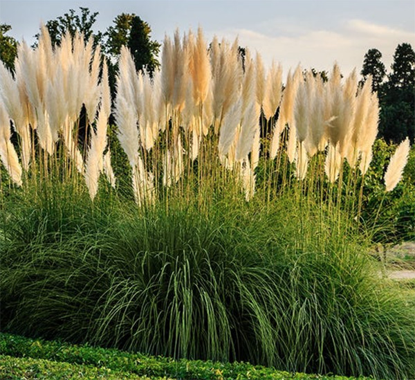 White Feather Pampas Grass